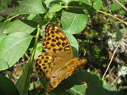 Бабочка на листе.JPG