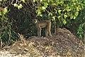 Бабуин в Национальном парке Саадани.jpg