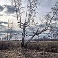 Берёза на сибирском тракте недалеко от Тугулыма - panoramio.jpg