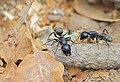 Кампонотус (муравей-древоточец) - Camponotus - Carpenter ant - Rossameisen (28667493803).jpg