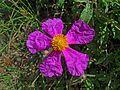 Ладанник критский - Cistus creticus - Rock Rose - Лавдан (Памуклийка, Скална роза) - Kretische Zistrose (27246817280).jpg