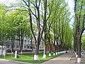 Липи на Петропавлівській вулиці.JPG
