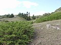 Можжевельник - panoramio.jpg