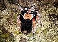 Паук-птицеед - Brachypelma smithi (вторая особь).jpg