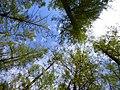Петровщинская лиственничная роща деревья пронумерованы.JPG