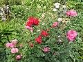 Розы - panoramio - Бука.jpg