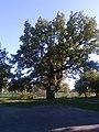 Хейлівщинський дуб1.jpg