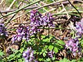 Хохлатка плотная в саду Травникова.jpg