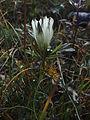Цветы Прибайкалья 2.JPG