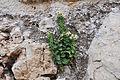 კიტრანა Ecballium elaterium Squirting Cucumber (2).JPG
