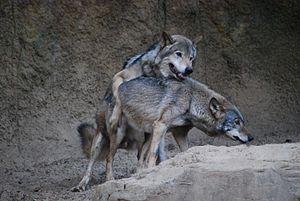 Mating - Image: オオカミ(Gray wolf) (5339403526)