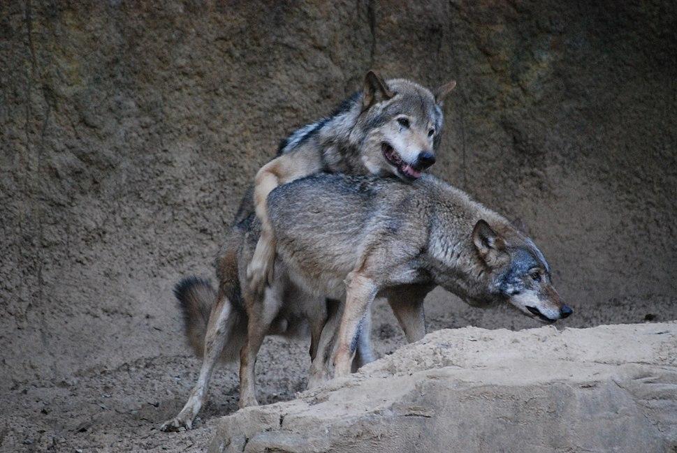 オオカミ(Gray wolf) (5339403526)