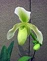 兜蘭屬 Paphiopedilum haynaldianum x primulinum x concolor -香港沙田洋蘭展 Shatin Orchid Show, Hong Kong- (31114915430).jpg