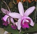 卡特蘭屬 Cattleya intermedia v orlata -香港沙田洋蘭展 Shatin Orchid Show, Hong Kong- (9152017916).jpg