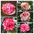 山茶花 Camellia japonica cultivars 2 -昆明金殿植物園 Kunming YuanLin Botanic Gardens, China- (40198238721).jpg