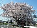 新河原橋南詰の桜の木 2012.4.12 - panoramio.jpg