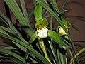 春蘭鶴嫦素 Cymbidium goeringii -香港沙田國蘭展 Shatin Orchid Show, Hong Kong- (12316828133).jpg