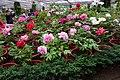 杉林溪牡丹園 Shanlinxi Peony Garden - panoramio (5).jpg