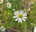 母菊 Matricaria chamomilla -維也納大學植物園 Vienna University Botanical Garden- (29047134645).jpg