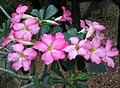 沙漠玫瑰 Adenium obesum -香港公園 Hong Kong Park- (9204823503).jpg