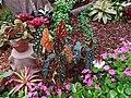 海棠 Begonia - panoramio.jpg