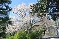 生田小・こぶし(川崎市まちの樹50選) - panoramio.jpg