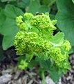 羽毛草(斗篷草) Alchemilla vulgaris -比利時 Ghent University Botanical Garden, Belgium- (9216096994).jpg
