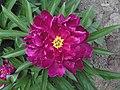 芍藥-紫樓 Paeonia lactiflora 'Purple Pavilion' -北京景山公園 Jingshan Park, Beijing- (12404199144).jpg