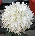 菊花-日照雲霞 Chrysanthemum morifolium 'Sun Shining on Beautiful Clouds' -中山小欖菊花會 Xiaolan Chrysanthemum Show, China- (11962007896).jpg