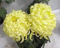 菊花-矮腳金虎 Chrysanthemum morifolium 'Short-Leg Golden Tiger' -香港圓玄學院 Hong Kong Yuen Yuen Institute- (12026338365).jpg