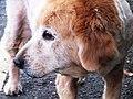路邊的狗 Street Dog - panoramio.jpg