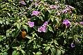 野牡丹 Melastoma candidum - panoramio (2).jpg