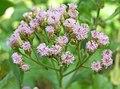闊苞菊(欒樨) Pluchea indica -香港動植物公園 Hong Kong Botanical Garden- (9193446114).jpg