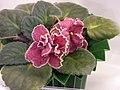 非洲紫羅蘭 Saintpaulia Strawberry Fields -香港花展 Hong Kong Flower Show- (25749330600).jpg