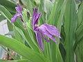頭花象牙參 Roscoea capitata -倫敦植物園 Kew Gardens, London- (9200964574).jpg