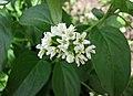鵝絨藤屬 Vincetoxicum stepposum -哥本哈根大學植物園 Copenhagen University Botanical Garden- (37020798021).jpg