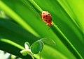 鼻頭角 - 星點大金花蟲 - panoramio.jpg
