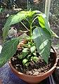-2020-07-10 Cayenne pepper (Capsicum annuum), Trimingham (2).JPG