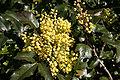 - Mahonia aquifolium 02 -.jpg
