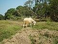 0306Sheep–goat hybrids 03.jpg