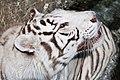 08-2011. Panthera tigris tigris - Texas Park - Lanzarote -TP02.jpg
