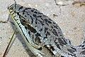 09-034 Alligator Lizard (Elegaria multicarinata) slo co, ca -4 (3481414821).jpg