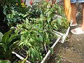 0998Ornamental plants in the Philippines 01.jpg