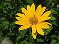 1005 - Obertraun-Winkle - Asteraceae.JPG