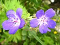 1492 - Nationalpark Hohe Tauern - Flowers.JPG