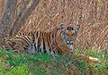 2010-kabini-tiger.jpg