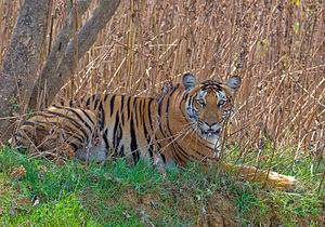 Nagarhole National Park - A tiger on the Kabini river