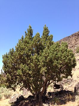 2013-06-28 14 32 42 Rocky Mountain Juniper along the Jarbidge River in far southern Owyhee County, Idaho.jpg
