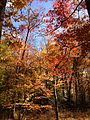 2014-10-30 13 19 39 Trees during autumn in the woodlands along the West Branch Shabakunk Creek in Ewing, New Jersey.JPG