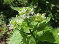 20140413Alliaria petiolata1.jpg